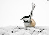 """<div class=""""jaDesc""""> <h4>Chickadee in 30 MPH Wind - January 29, 2019</h4> <p>Our Chickadees were not fazed by the super windy, cold, snowy weather.  One gust blew this guy's wing feathers straight up!</p> </div>"""