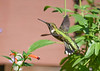 "<div class=""jaDesc""> <h4>Female Hummingbird Hovering - September 22, 2019 </h4> <p> </p> </div>"