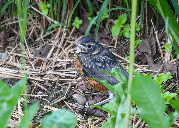 """<div class=""""jaDesc""""> <h4>Robin Chick Exploring Back Yard - June 3, 2019</h4> <p>This was the first chick on the ground.  It took him most of the afternoon till he was strong enough to fly up into a bush where he was safer.</p> </div>"""