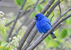 """<div class=""""jaDesc""""> <h4>Male Indigo Bunting in Serviceberry Tree - May 11, 2018</h4> <p>I am always amazed at the brilliance of male Indigo Buntings.  Nice to have him back in the yard.</p></div>"""