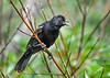 """<div class=""""jaDesc""""> <h4>Immature Red-winged Blackbird Screeching - June 22, 2018</h4> <p>It does not take the young Blackbirds very long to learn how to screech. </p></div>"""