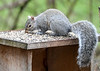 """<div class=""""jaDesc""""> <h4> Gray Squirrel Sniffing Seeds - April 2, 2020</h4> <p> That same morning, it was sunny.</p> </div>"""