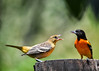 "<div class=""jaDesc""> <h4>Juvenile Female Oriole Begging - July 5, 2017</h4> <p>Dad Baltimore Oriole seems to be the one training the juveniles to eat on their own.  Mom may be sitting on more eggs.</p> </div>"