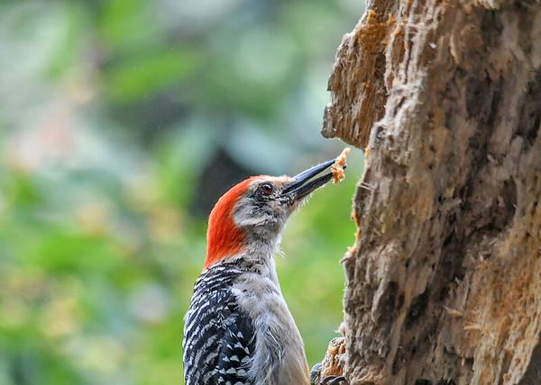 "<div class=""jaDesc""> <h4>Female Red-bellied Woodpecker with Blob of Suet - September 10, 2019</h4> <p></p> </div>"