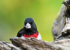 "<div class=""jaDesc""> <h4>Male Rose-Breasted Grosbeak Looking at Me - May 11, 2019</h4> <p></p></div>"