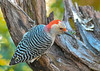 """<div class=""""jaDesc""""> <h4>Immature Female Red-bellied Woodpecker in Morning Sunshine - October 22, 2018</h4> <p></p> </div>"""
