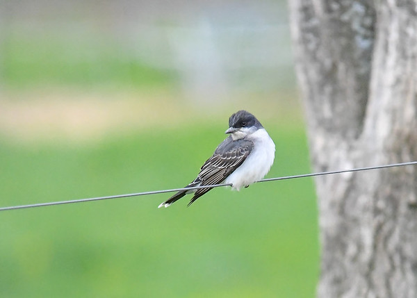 "<div class=""jaDesc""> <h4>Kingbird - First of Year - May 7, 2017</h4> <p>This Kingbird was catching bugs in a cow pasture up the road from our house.  </p> </div>"