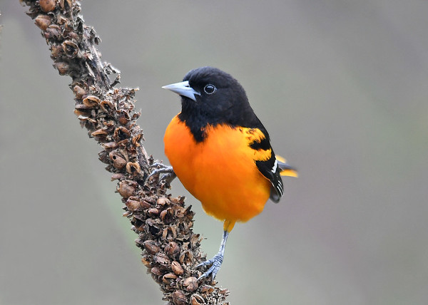 """<div class=""""jaDesc""""> <h4>Male Baltimore Oriole on Dried Mullein Stalk - May 4, 2019</h4> <p>The brilliant black/orange contrast makes me smile.</p> </div>"""