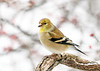 "<div class=""jaDesc""> <h4>Male Goldfinch on Perch - January 18, 2020</h4> <p> </p></div>"