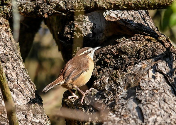 "<div class=""jaDesc""> <h4> Adult Carolina Wren on Tree Trunk - September 20, 2019 </h4> <p> This adult Carolina Wren popped out  of a dense bush into the morning sun.</p> </div>"