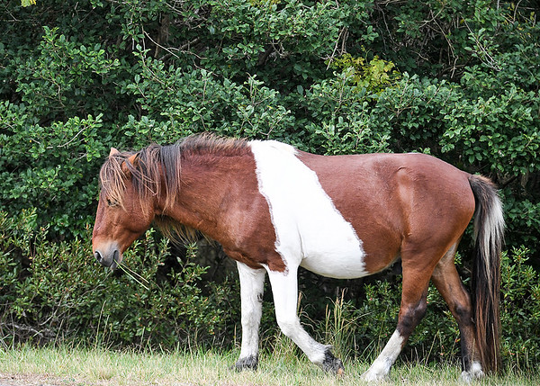 "<div class=""jaDesc""> <h4>Pinto Chincoteague Pony Stallion - October 23, 2017</h4> <p> According to the park ranger this tri-colored pinto stallion is the father of the tri-colored pinto foal.  He was the sturdiest looking pony in the band of 10 horses I saw.</p> </div>"