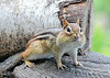 """<div class=""""jaDesc""""> <h4>Chipmunk Cheeks Full of Peanuts - August 5, 2020</h4> <p>We are overrun by Chipmunks this year.  This guy is collecting shelled peanuts and sunflower seeds meant for the birds.</p> </div>"""