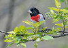 "<div class=""jaDesc""> <h4>Male Rose-Breasted Grosbeak Looking at Feeder Area - May 11, 2019</h4> <p></p></div>"