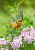 "<div class=""jaDesc""> <h4>Juvenile Male Baltimore Oriole Landing on Phlox - August 23, 2019</h4> <p></p> </div>"