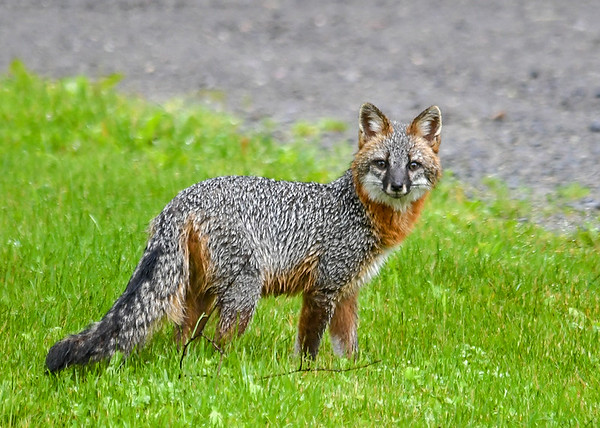 """<div class=""""jaDesc""""> <h4>Female Gray Fox Headed Back to Den - June 16, 2019</h4> <p>She stopped to look back at me as she headed across the road.</p> </div>"""