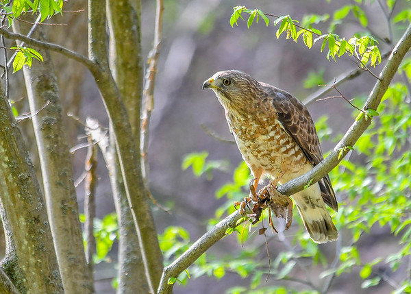 "<div class=""jaDesc""> <h4> Red-shouldered Hawk on Perch - April 30, 2017</h4> <p>A Red-shouldered Hawk flew across the road in front of me and landed in a roadside tree.  He still had some leaves stuck to his left claw.</p> </div>"