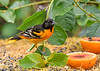 """<div class=""""jaDesc""""> <h4>Male Baltimore Oriole Dining - June 20, 2018</h4> <p>The male Oriole usually gets to eat at the dining area with two orange halves.  </p> </div>"""