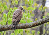 "<div class=""jaDesc""> <h4> Soggy Broad-winged Hawk - May 6, 2017</h4> <p> While we were driving down a road through a forest, this Broad-winged Hawk flew out in front of us for a brief period and landed in a roadside tree. It was raining hard, so he was very soggy.</p> </div>"