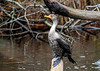 """<div class=""""jaDesc""""> <h4> Cormorant Posing Proudly  - November 13, 2018</h4> <p>This Cormorant was quite content to have me photograph him from the edge of the bank.  Chincoteague, VA</p> </div>"""