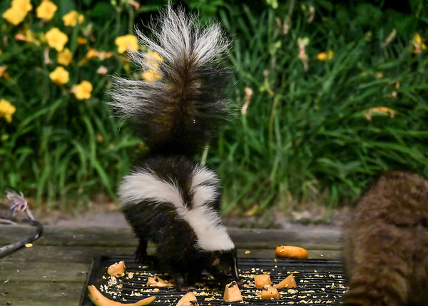 "<div class=""jaDesc""> <h4>Skunk Arrives at Food Tray - July 10, 2017</h4> <p>When a Skunk arrived at the food tray, the Raccoon stayed on the other end.</p> </div>"