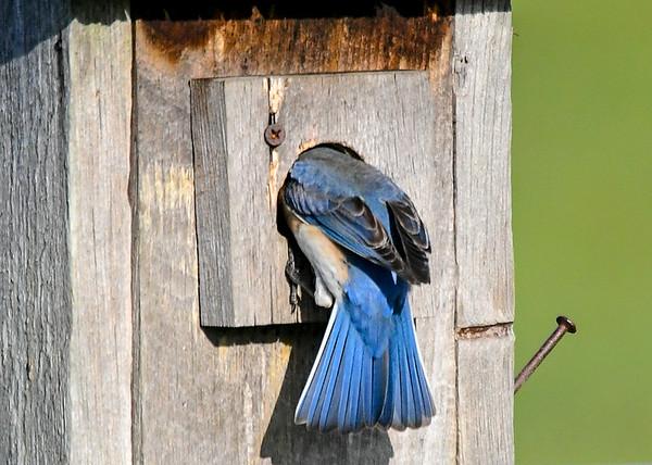 "<div class=""jaDesc""> <h4>Female Bluebird Headed Into Nest Box - May 19, 2020</h4> <p>She is sitting on 5 eggs.</p> </div>"