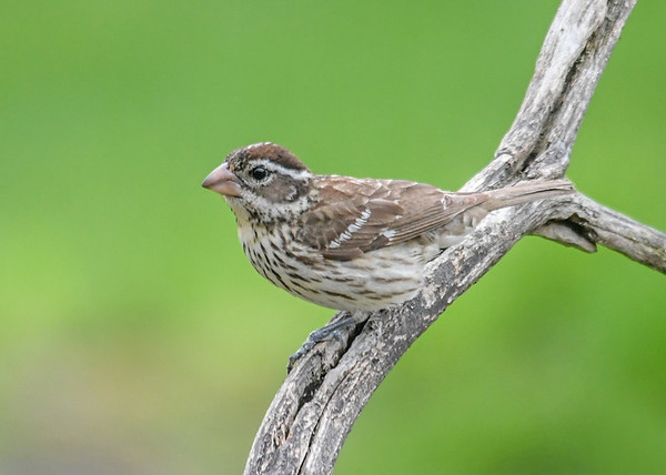 """<div class=""""jaDesc""""> <h4>Female Rose-Breasted Grosbeak - First of the Year - May 1, 2019</h4> <p>It is very unusual for a female Rose-breasted Grosbeak to arrive before the males.</p> </div>"""