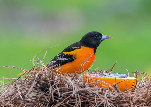 """<div class=""""jaDesc""""> <h4>Male Baltimore Oriole - At Orange with Jelly - May 6, 2020</h4> <p></p> </div>"""