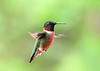 "<div class=""jaDesc""> <h4>Male Ruby-throated Hummingbird 1st of Year - May 24, 2020 </h4> <p> </p> </div>"