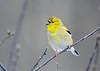 "<div class=""jaDesc""> <h4>Male Goldfinch Starting Breeding Plumage  - February 26, 2019</h4> <p>Goldfinches start their breeding plumage change in January.  This male is making good progress.</p></div>"