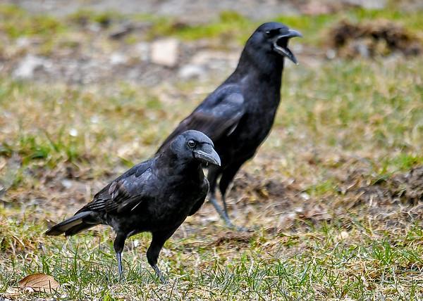 """<div class=""""jaDesc""""> <h4>Crow Close-up - March 18 2020</h4> <p></p>  </div>"""