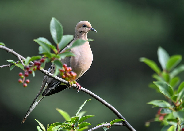"<div class=""jaDesc""> <h4> Mourning Dove Relaxing in Cherry Tree - July 11, 2017 </h4> <p>This Mourning Dove was calmly perched in the top of our Black Cherry tree while a dozen Blue Jays were raucously flying around her.</p> </div>"