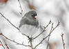 """<div class=""""jaDesc""""> <h4>Junco - Snowflake Eyebrow - January 18, 2018</h4> <p>We have 60 Juncos hanging around all day long.  This one had some snow flakes on his face.</p> </div>"""