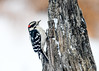 "<div class=""jaDesc""> <h4> Male Downy Woodpecker on Snowy Stump - January 13, 2018</h4> <p>During a snow storm, our male Downy Woodpecker was searching this stump for peanut butter suet that I smear on it.</p> </div>"