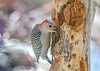 "<div class=""jaDesc""> <h4>Female Red-bellied Woodpecker Eating Homemade Suet - March 22, 2020</h4> <p></p> </div>"