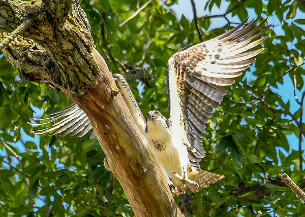 "<div class=""jaDesc""> <h4>Juvenile Osprey Ready to Land - August 8, 2019 </h4> <p>He realizes he is unable to dig his claws into the smooth woods. </p> </div>"