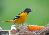 "<div class=""jaDesc""> <h4>Female Baltimore Oriole - Claiming Orange with Jelly - May 6, 2020</h4> <p></p> </div>"