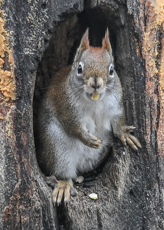 """<div class=""""jaDesc""""> <h4>Red Squirrel Peanut in Mouth - January 7, 2019 </h4> </div>"""