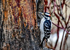 "<div class=""jaDesc""> <h4>Male Hairy Woodpecker Eating Suet - January 14, 2017</h4> <p>Mr. Hairy Woodpecker is enjoying the homemade suet I spread on the section of an ash tree that I brought down from the woods.</p></div>"