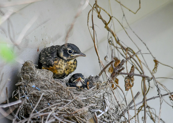 """<div class=""""jaDesc""""> <h4>Two Robin Chicks Left in Nest - June 3, 2019</h4> <p>Robin chicks getting ready to leave the nest.  One has already jumped out.</p> </div>"""