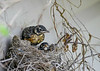 "<div class=""jaDesc""> <h4>Two Robin Chicks Left in Nest - June 3, 2019</h4> <p>Robin chicks getting ready to leave the nest.  One has already jumped out.</p> </div>"
