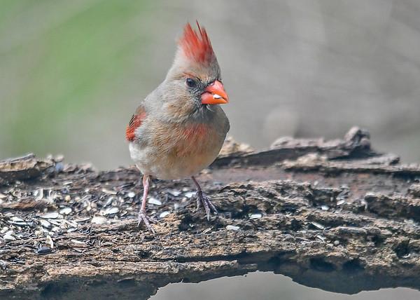 """<div class=""""jaDesc""""> <h4>Female Cardinal Front View - April 24, 2019</h4> <p></p> </div>"""
