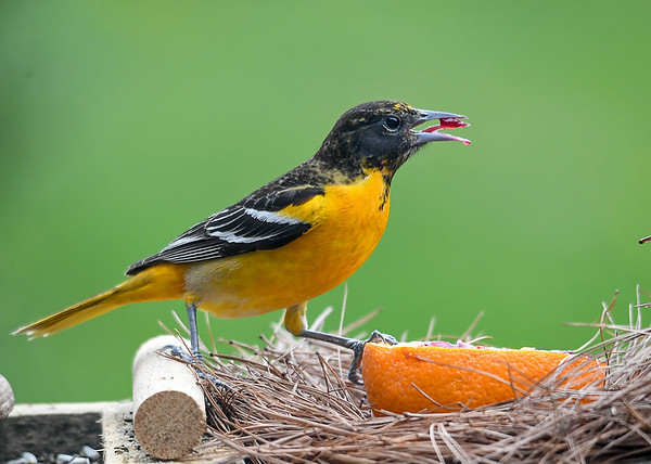 """<div class=""""jaDesc""""> <h4>Female Baltimore Oriole - Jelly on Tongue - May 6, 2020</h4> <p>One of 3 female Orioles that arrived.</p> </div>"""
