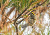 """<div class=""""jaDesc""""> <h4> Male Golden-crowned Kinglet Searching for Next Pine Cone - November 8, 2018 </h4> <p>This angle gives a nice view of his golden crown with orange tint.  Chincoteague NWR, VA.</p> </div>"""