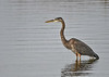 """<div class=""""jaDesc""""> <h4> Great Blue Heron Patiently Waiting - November 8, 2018 </h4> <p>A Great Blue Heron was waiting for a fish to swim by at Chincoteague Wildlife Reserve, VA.</p> </div>"""