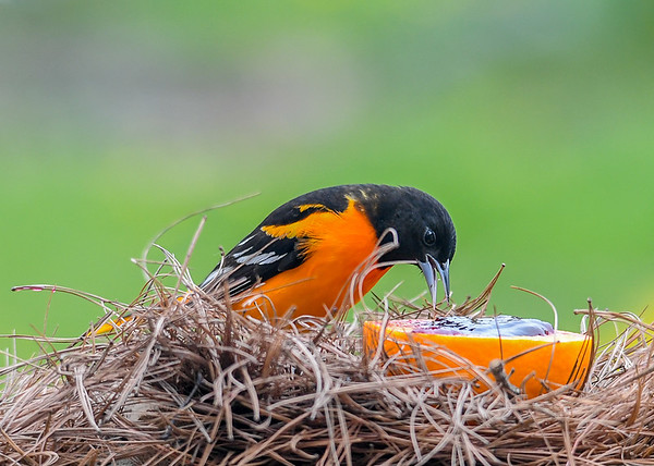 "<div class=""jaDesc""> <h4>Male Baltimore Oriole - About to Grab Jelly - May 6, 2020</h4> <p></p> </div>"