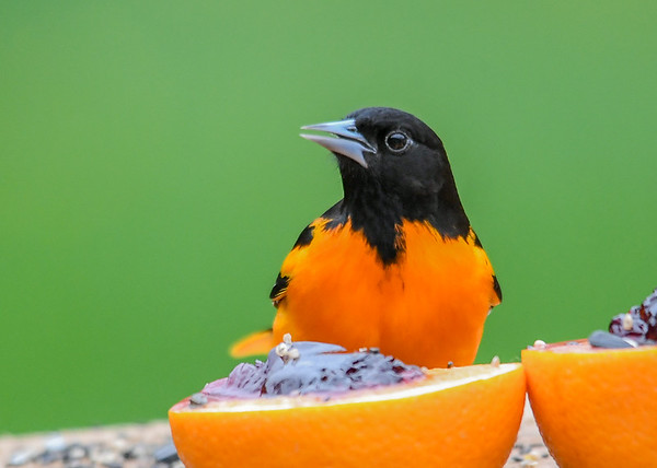 """<div class=""""jaDesc""""> <h4>Male Baltimore Oriole Snack Time - May 4, 2019</h4> <p>He's going for the orange and grape jelly I put out.  This is a favorite of the Orioles, Catbirds, Blue Jays, and Chipmunks.</p> </div>"""