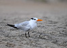 "<div class=""jaDesc""> <h4>Immature Royal Tern on Beach - October 23, 2017 </h4> <p>I was hoping to see the Royal Terns on the beach at Chincoteague National Wildlife Preserve again this year, and I was not disappointed.  There were about 20 immature Royal Terns (partial black crest) spread out in small groups among the gulls.</p> </div>"