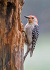 "<div class=""jaDesc""> <h4>Male Red-bellied Woodpecker on Suet Log - May 25, 2017</h4> <p>Our male Red-bellied Woodpecker brings sunflower seeds to this suet log, jams them in a crack and pecks the shells off so he can eat the kernel.</p> </div>"