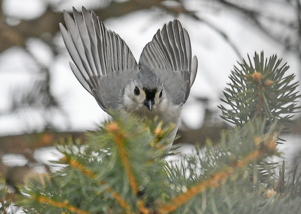 """<div class=""""jaDesc""""> <h4>Tufted Titmouse Moving to New Location - February 17, 2019 </h4> <p>Got lucky and caught this landing shot.</p></div>"""