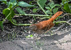 """<div class=""""jaDesc""""> <h4>Brown Thrasher in Afternoon Sun - September 8, 2019</h4> <p> Found a primo sunflower kernel.</p> </div>"""